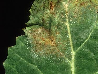 Light leaf spot (Pyrenopeziza brassicae) lesions on oilseed rape leaf  -  Nigel Cattlin/ FLPA