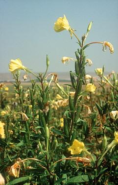 Evening primrose flower spikes and seedpods  -  Nigel Cattlin/ FLPA