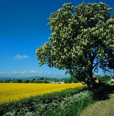 Oilseed rape in full flower, hedge, flowering horse chestnut tree, Gloucestershire  -  Nigel Cattlin/ FLPA
