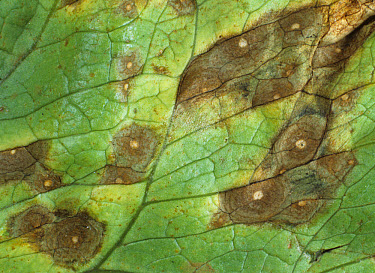 Leaf spot (Cercospora lactucae) leaf lesions on lettuce, Thailand  -  Nigel Cattlin/ FLPA