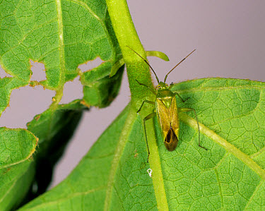 Potato capsid (Calocoris norvegicus) and damage to runner bean leaf  -  Nigel Cattlin/ FLPA