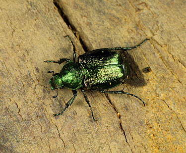 A chafer (Gnorimus nobilis) rare and considered to be vulnerable in the UK  -  Nigel Cattlin/ FLPA