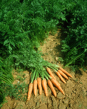 Harvested Carrots lying on soil in the middle of a mature crop  -  Nigel Cattlin/ FLPA