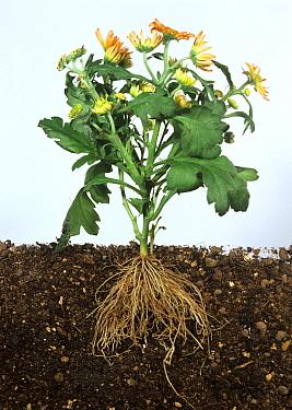 Flowering Chrysanthemum plant showing aerial and subterranean structure  -  Nigel Cattlin/ FLPA
