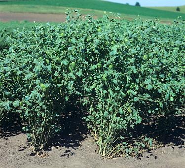 Chickpea plants variety Kabuli in pod and flower, Washington, USA  -  Nigel Cattlin/ FLPA