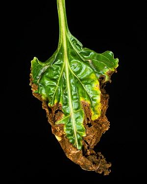 Leaf spot (Alternaria tenuis) necrosis on sugar beet leaf, France  -  Nigel Cattlin/ FLPA