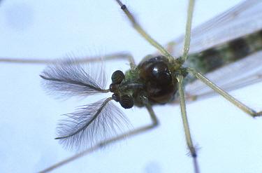 Anthennae & head of an adult male chironomid midge (Chironomus raparius)  -  Nigel Cattlin/ FLPA