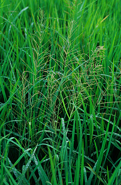 Red spangetop (Leptochloa chinensis) grass weed in paddy rice crop  -  Nigel Cattlin/ FLPA