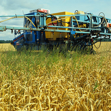 Spraying glyphosate pre-harvest to control couch in a ripe wheat crop  -  Nigel Cattlin/ FLPA