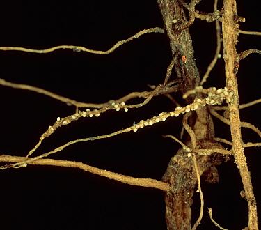 Pea cyst nematode (heterodera gottingiana) recently formed cysts on pea roots  -  Nigel Cattlin/ FLPA