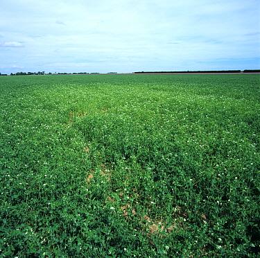 Pea cyst nematode (Heterodera gottingiana) damage to pea crop in pod  -  Nigel Cattlin/ FLPA