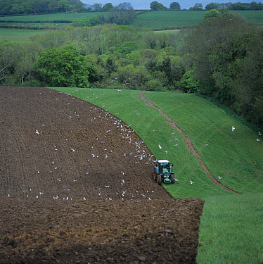 Fendt tractor with gulls ploughing grass pasture as green manure before reseeding  -  Nigel Cattlin/ FLPA