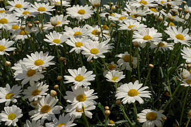 Marguerite (Leucanthemum vulgare) flowering container grown plant  -  Nigel Cattlin/ FLPA