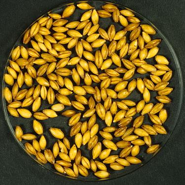 Process of malting barley seed beginning of germination stage, steeping  -  Nigel Cattlin/ FLPA