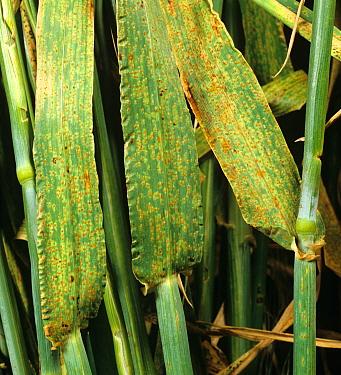 Brown rust (Puccinia hordei) infected barley leaves from crop in ear  -  Nigel Cattlin/ FLPA