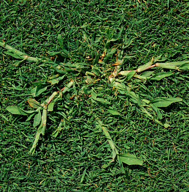 Crabgrass (Digitaria sanguinalis) a weed embedded in golf green bent turfgrass (Agrostis sp)  -  Nigel Cattlin/ FLPA