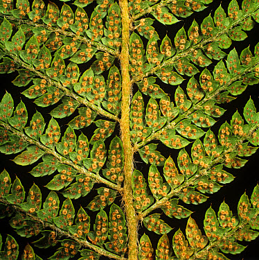 Male fern (Dryopteris filix-mas) spores in sori on fern frond  -  Nigel Cattlin/ FLPA