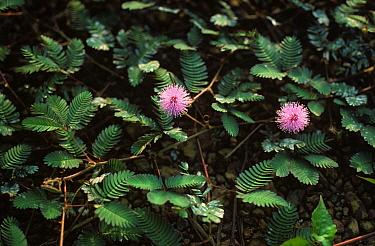 Sensitivity Plant (Mimosa pudica) flowering plant, The Philippines  -  Nigel Cattlin/ FLPA