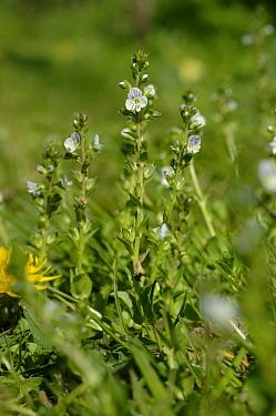 Thyme leaved speedwel (Veronica serpyllifolia) flowering plants  -  Nigel Cattlin/ FLPA