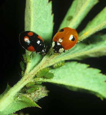 Colour variants of two-spot ladybirds (Adalia bipunctata) preying on rose aphids  -  Nigel Cattlin/ FLPA