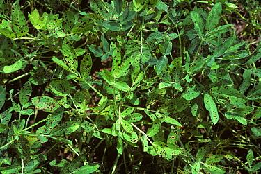 Late leaf spot (Phaeosariopsis personata) infected peanut crop, Florida, USA  -  Nigel Cattlin/ FLPA