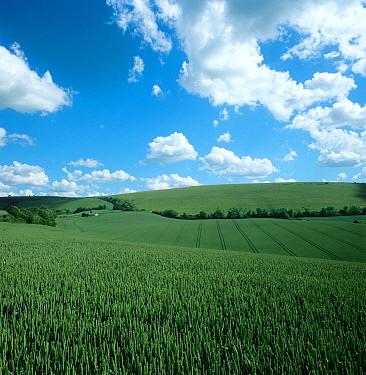 Downland wheat crop in green ear, undulating field with blue summer sky & clouds  -  Nigel Cattlin/ FLPA