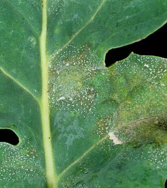 Light leaf spot (Pyrenopeziza brassicae) lesions on an oilseed rape leaf  -  Nigel Cattlin/ FLPA