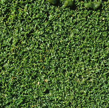 Algal slime on damp turf on golf putting green, Surrey  -  Nigel Cattlin/ FLPA