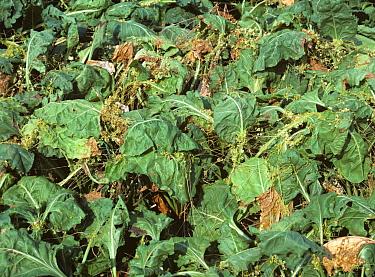 Dodder or strangleweed (Cuscuta epithymum) parasitic weed on mature sugar beet, Greece  -  Nigel Cattlin/ FLPA