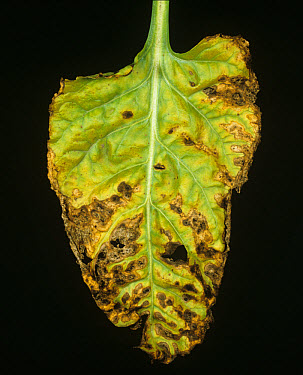 Alternaria leaf spot (Alternaria tenuis) lesions of weak pathogen on sugar beet leaf  -  Nigel Cattlin/ FLPA