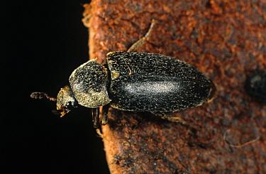 Hide or bacon beetle (Dermestes maculatus) adult  -  Nigel Cattlin/ FLPA