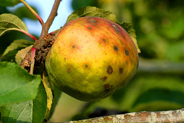 Apple scab (Venturia inaequalis) spotting on cooking apple fruit variety Bramley  -  Nigel Cattlin/ FLPA