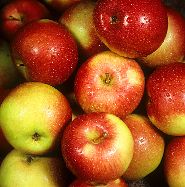 Harvested Canadian apples as bought from a supermarket  -  Nigel Cattlin/ FLPA