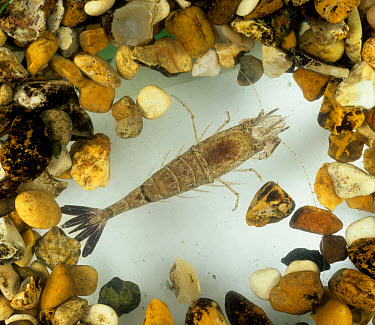 Brown shrimp (Crangon crangon) used as an indicator species in chemical toxicology studies  -  Nigel Cattlin/ FLPA