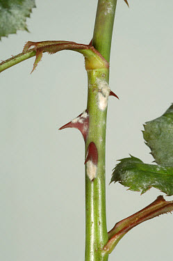 Powdery mildew (Sphaerotheca pannosa) infection on climbing rose leaves  -  Nigel Cattlin/ FLPA