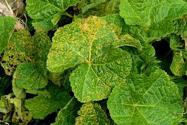 Hollyhock rust (Puccinia malvacearum) on hollyhock upper leaf surface  -  Nigel Cattlin/ FLPA