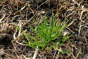 Annual meadow-grass (Poa annua) plant just beginning to flower  -  Nigel Cattlin/ FLPA