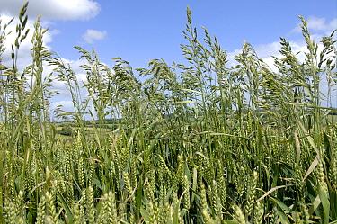 Meadow brome (Bromus commutatus) flower spikes in a wheat crop in ear  -  Nigel Cattlin/ FLPA