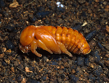 Rhinocerus beetle (Oryctes rhinoceros) pupa  -  Nigel Cattlin/ FLPA