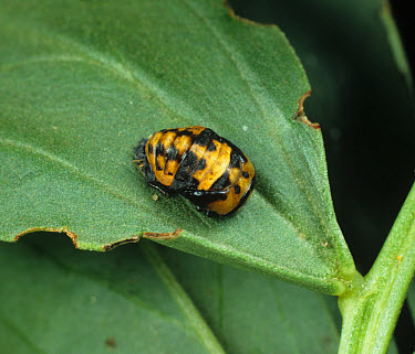 Seven spot ladybird (Coccinella septum-punctata) pupa on a bean leaf  -  Nigel Cattlin/ FLPA