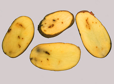 Calcium deficiency causing internal rust spot shown in potato tuber sections  -  Nigel Cattlin/ FLPA