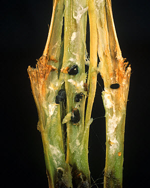 White mould (Sclerotinia sclerotiorum) sclerotia inside a potato stem  -  Nigel Cattlin/ FLPA