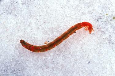 Blood worm (Chironomus riparius) a chironomid midge larva with as high haemoglobin content  -  Nigel Cattlin/ FLPA