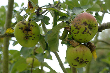 Apple scab (Venturia inaequalis) infection on bramley cooking apples  -  Nigel Cattlin/ FLPA