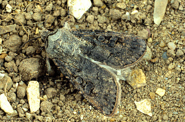 Turnip cutworm (Agrotis ipsilon) moth on soil surface  -  Nigel Cattlin/ FLPA