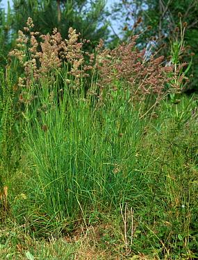 Cocksfoot or orchardgrass (Dactylis glomerata) flowering grasses  -  Nigel Cattlin/ FLPA