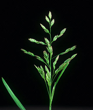 Annual meadow-grass (Poa annua) unopened flower spike  -  Nigel Cattlin/ FLPA