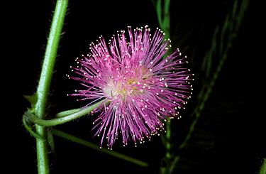 Sensitivity plant (Mimosa pudica) flower  -  Nigel Cattlin/ FLPA