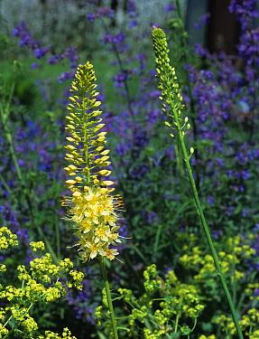 Foxtail lily (Eremurus bungei) flower spike  -  Nigel Cattlin/ FLPA