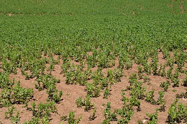 Pea cyst nematode (Heterodera gottingiana) damage to field bean crop in flower  -  Nigel Cattlin/ FLPA